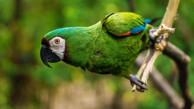 Come pappagalli